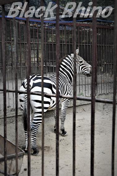 グラントシマウマ02 池田動物園
