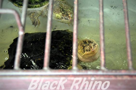 カミツキガメ01 池田動物園