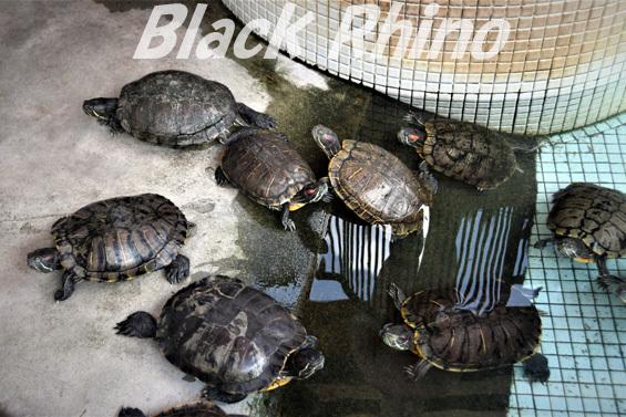 ミシシッピアカミミガメ01 池田動物園
