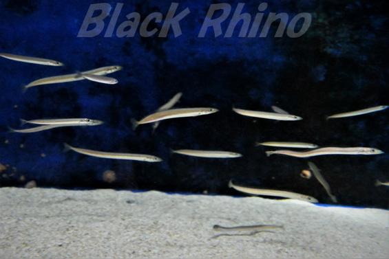 イカナゴ01 渋川マリン水族館