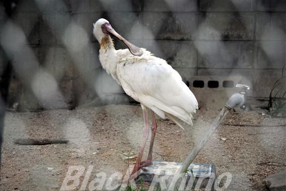 アフリカヘラサギ01 池田動物園