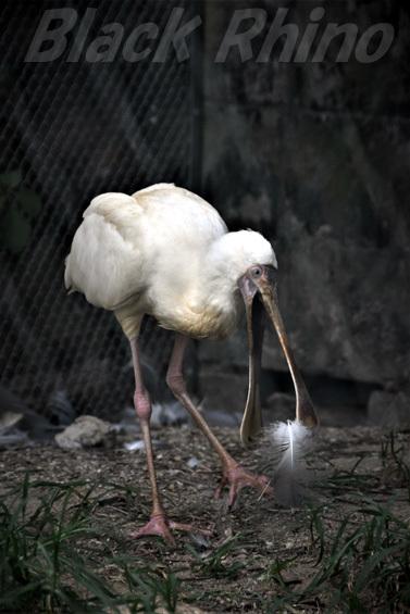 アフリカヘラサギ02 池田動物園