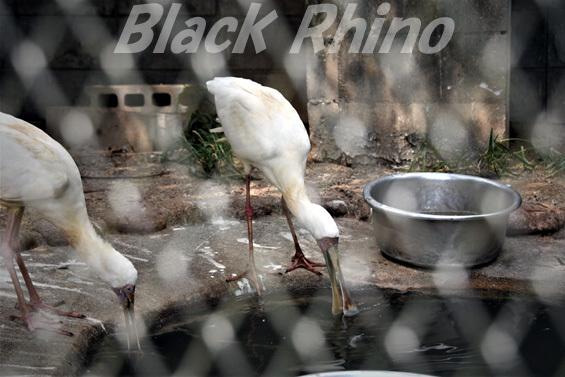 アフリカヘラサギ03 池田動物園