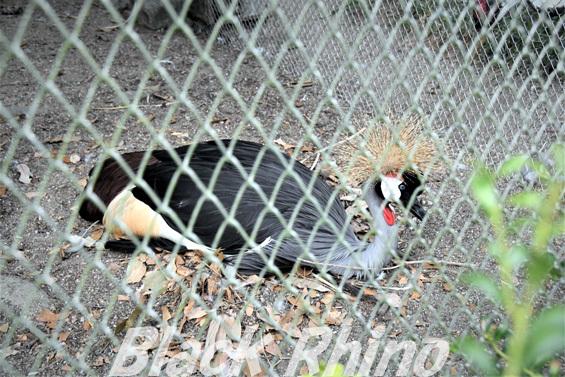 ホオジロカンムリヅル02 池田動物園