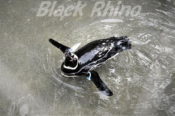 マゼランペンギン01 池田動物園