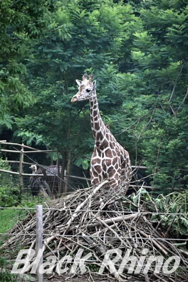 アミメキリン01 八木山動物公園