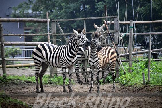 グラントシマウマ01 八木山動物公園