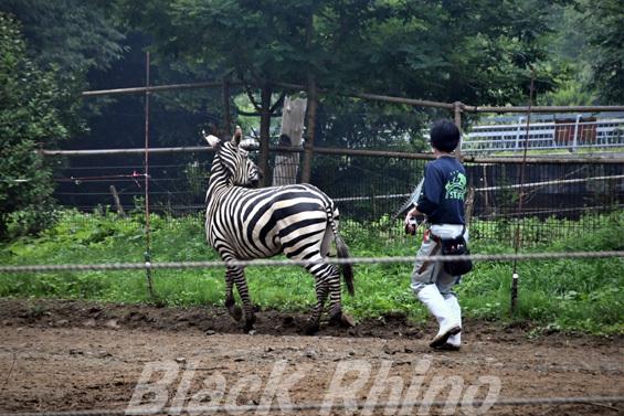 グラントシマウマ02 八木山動物公園