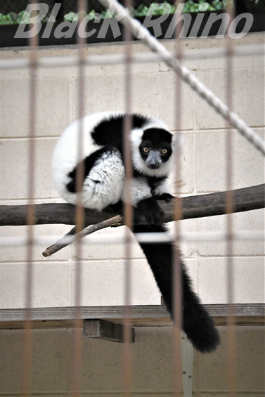 クロシロエリマキキツネザル01 池田動物園