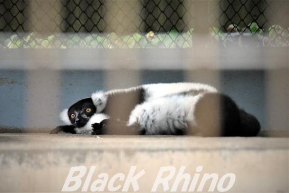 クロシロエリマキキツネザル02 池田動物園