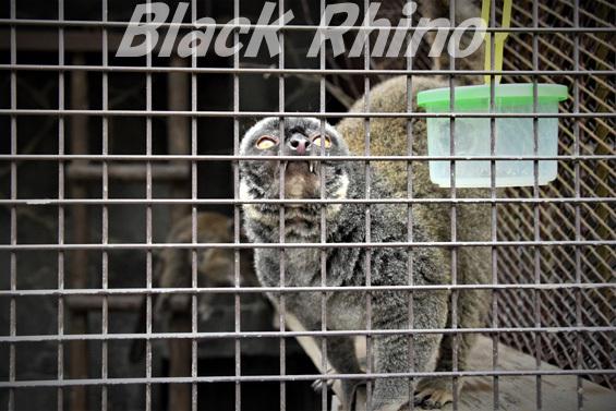 ブラウンレムール02 池田動物園