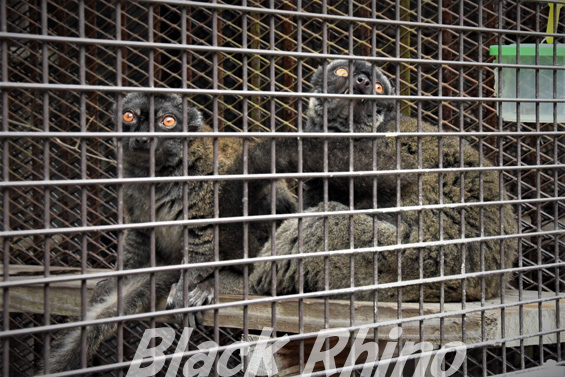 ブラウンレムール04 池田動物園