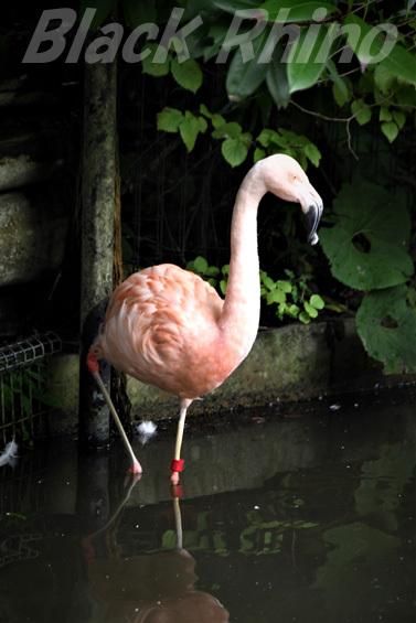 チリーフラミンゴ01 八木山動物公園