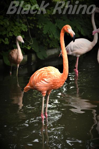 ベニイロフラミンゴ01 八木山動物公園
