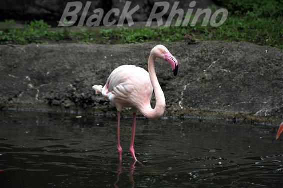 ヨーロッパフラミンゴ01 八木山動物公園
