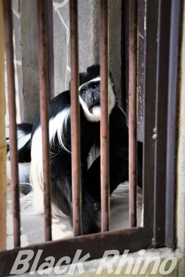 アビシニアコロブス01 池田動物園