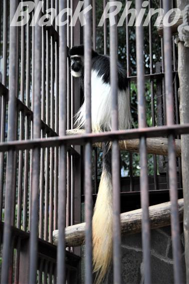 アビシニアコロブス02 池田動物園
