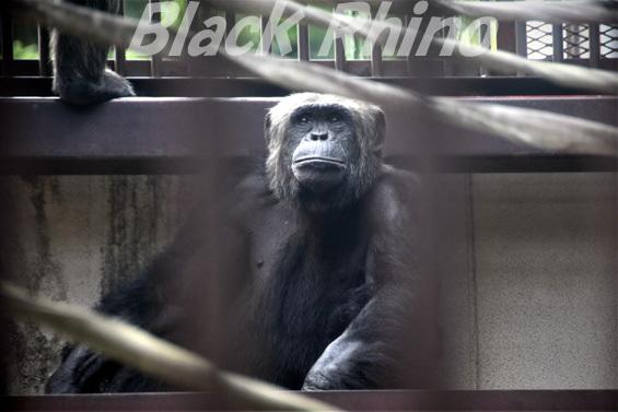 チンパンジー トム01 池田動物園