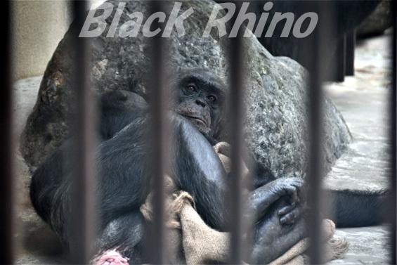 チンパンジー レーナ01 池田動物園