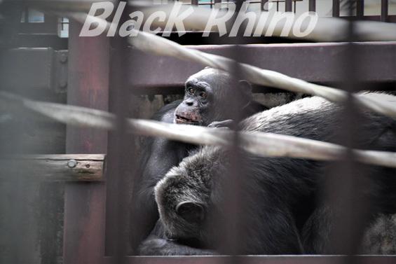 チンパンジー レーナ02 池田動物園