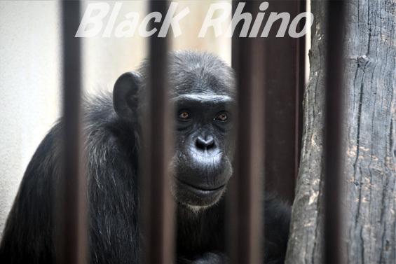 ニシチンパンジー ジュンコ01 池田動物園