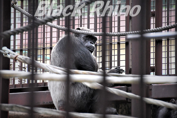 ニシチンパンジー ジュンコ02 池田動物園