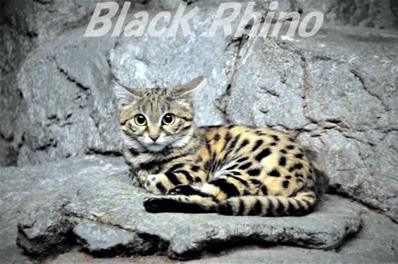 クロアシネコ01 シンシナティ動物園