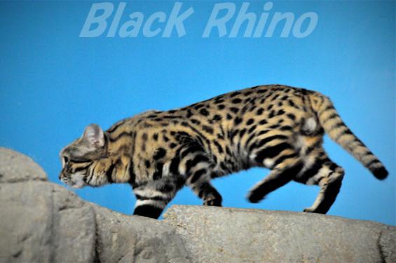 クロアシネコ02 シンシナティ動物園