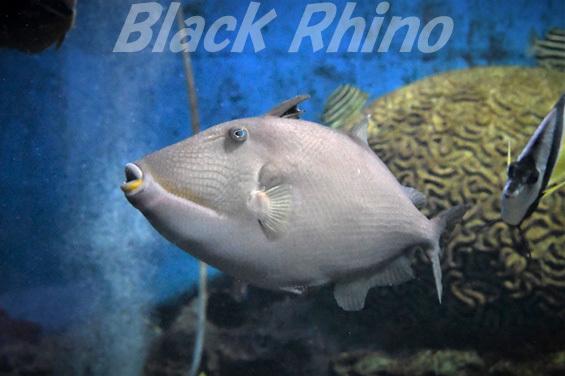 メガネハギ01 渋川マリン水族館