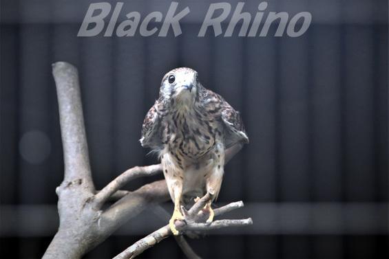 チョウゲンボウ01 八木山動物公園