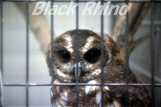 ナンベイヒナフクロウ02 八木山動物公園