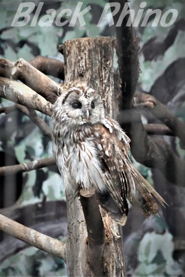 フクロウ01 八木山動物公園
