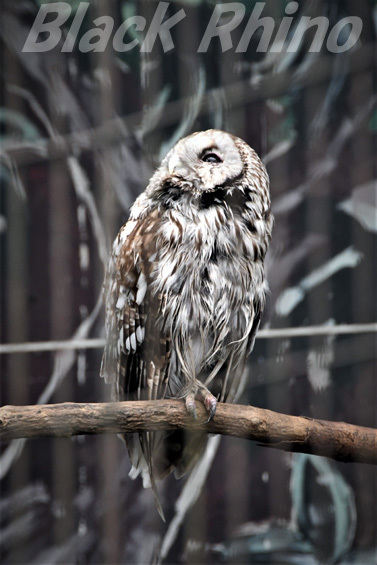 フクロウ02 八木山動物公園
