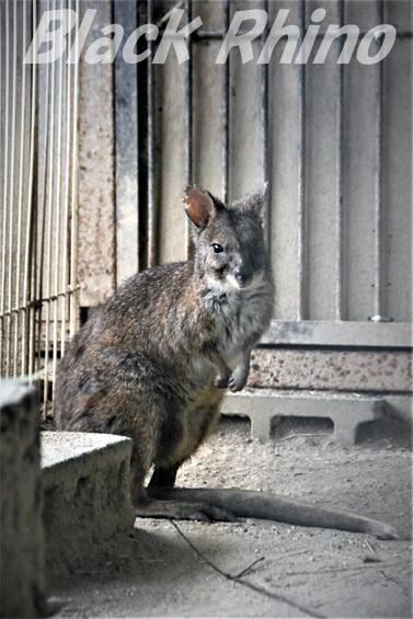 パルマワラビー01 池田動物園