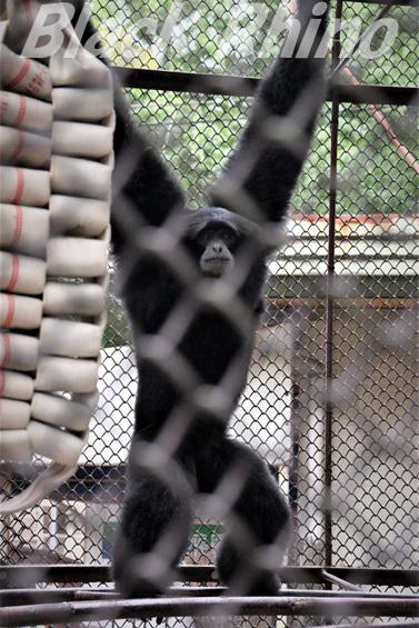 フクロテナガザル02 池田動物園