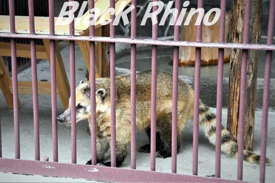アカハナグマ02 池田動物園