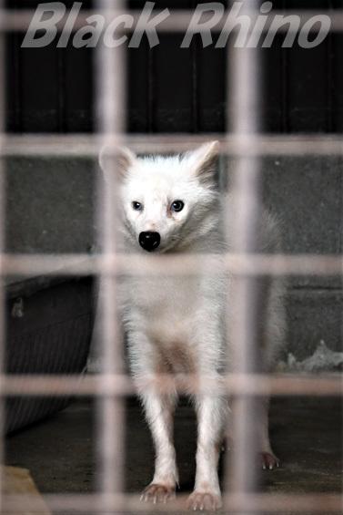 タヌキ(白変種)01 池田動物園