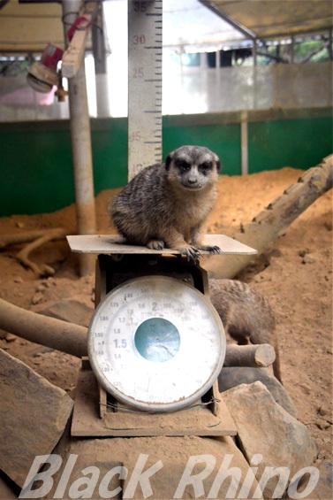 ミーアキャット01 池田動物園