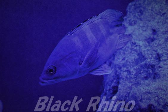 アカハタモドキ02 美ら海水族館