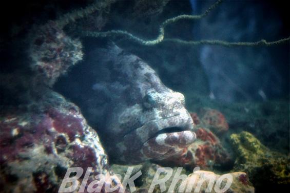 アカマダラハタ01 美ら海水族館