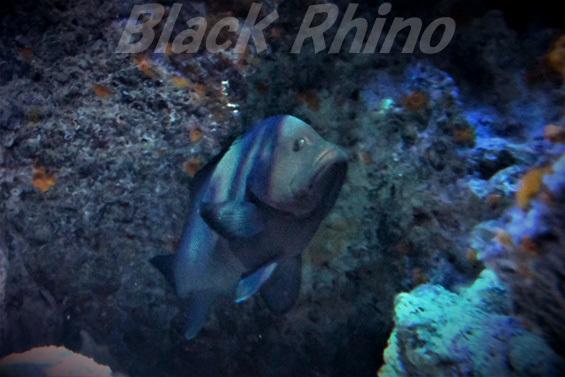 クロハタ02 美ら海水族館