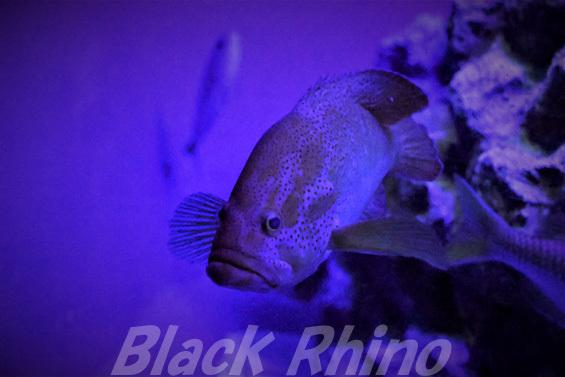 ハナハタ02 美ら海水族館