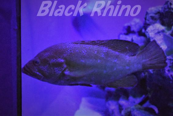 ハナハタ03 美ら海水族館