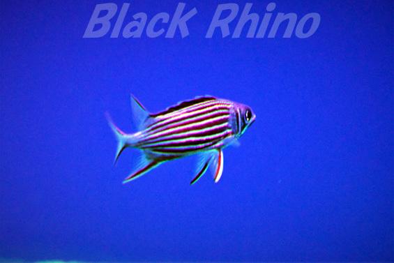 ニジエビス02 DMMかりゆし水族館
