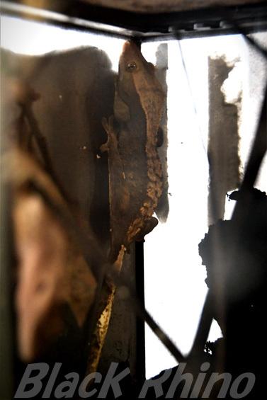 オウカンミカドヤモリ02 しろとり動物園