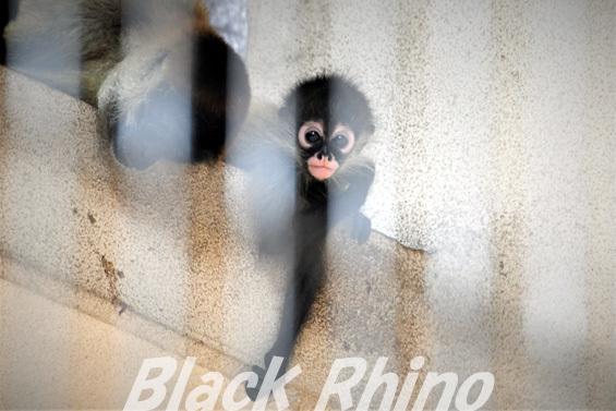 ジェフロイクモザル? ハートの赤ちゃん01 池田動物園