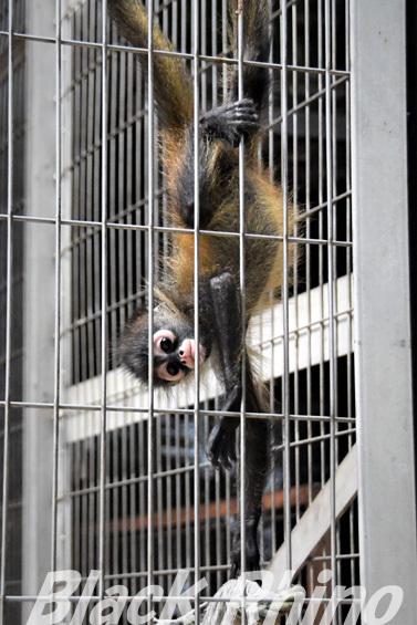 ジェフロイクモザル? ハートの赤ちゃん02 池田動物園