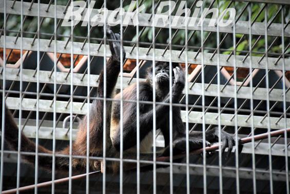 ジェフロイクモザル? リル01 池田動物園