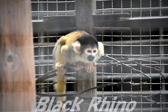 ボリビアリスザル02 池田動物園
