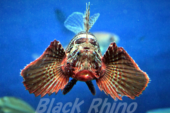 セトミノカサゴ02 東海大学海洋科学博物館